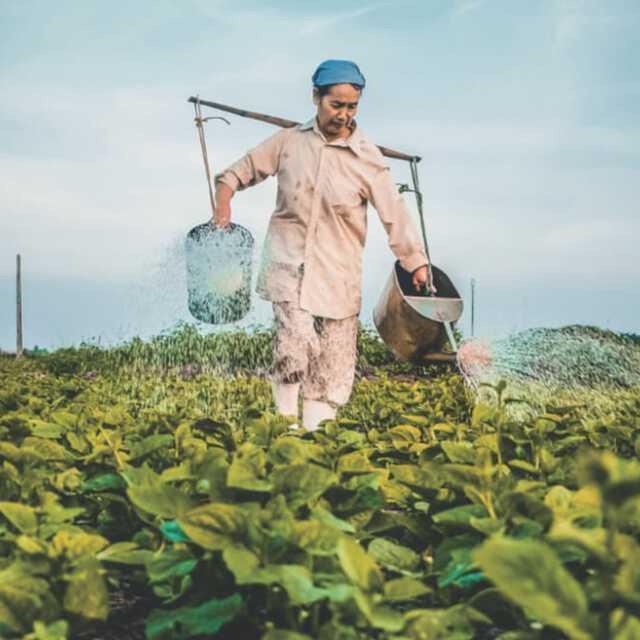 Woman in tobacco field